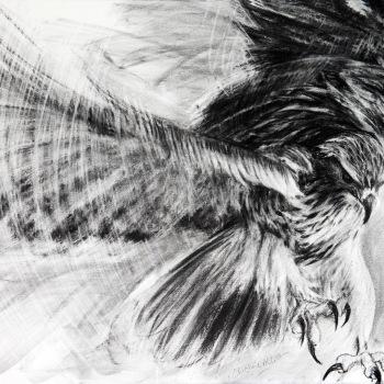 'Saker Falcon' Charcoal drawing 55cm x 78cm